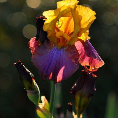Belle Fiore Bearded Iris