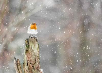 Robin Watching the Snowfall