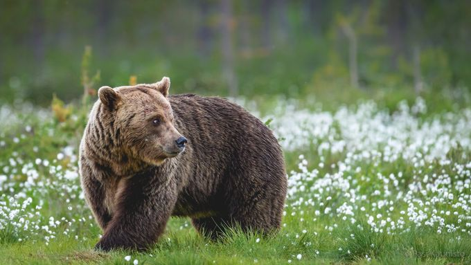 Brown Bear by kaunisto_pasi - Big Mammals Photo Contest