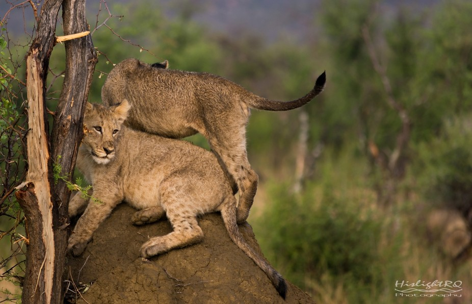 Lion cubs on a termite mound at Madikwe Game Reserve, South Africa