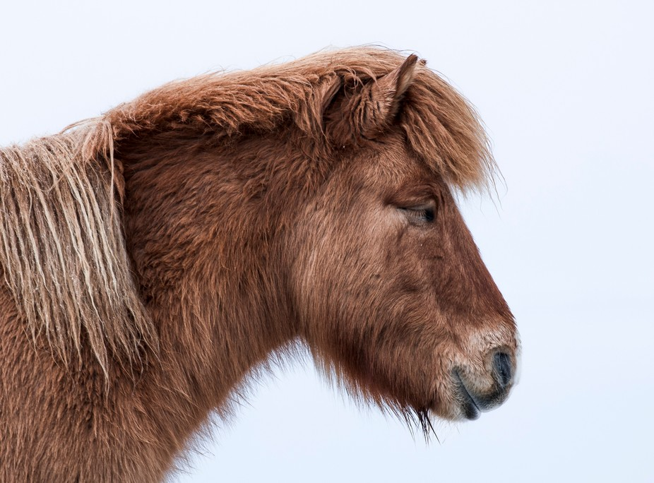 Icelandic horse north of kirkjufell on a cold cloudy day.