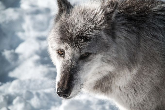Wolfy by maver001 - Winter Wildlife Photo Contest