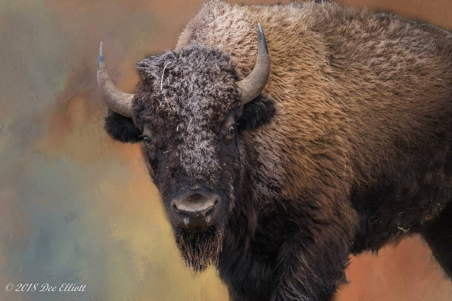 Bison on a frosty day. This isa composite, I added a texture background