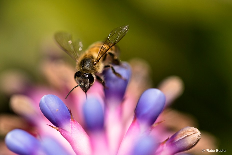 I was fascinated by this flower and as I was examining it, this little bee came to collect some p...