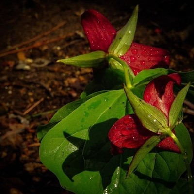 TBT I wandered upon these Red Trillium in the spring. The sun had just popped out after the rain.  #trailsend #redtrillium #wildflowers #sunshine #aftertherain #wander #woods #outthebackdoor #backyardnature #canon_photos #canonwhatelse #canon_global #ig_f