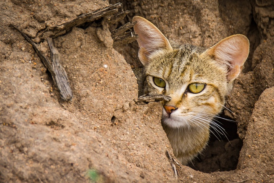 African Wild Cat in hiding