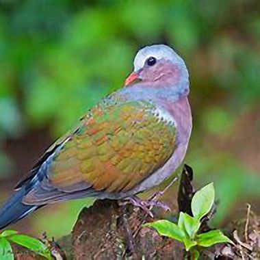 a beautifully coloured dove found in Khao Sok