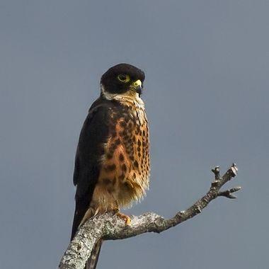 a distingtive bird of prey-Khao Sok National Park