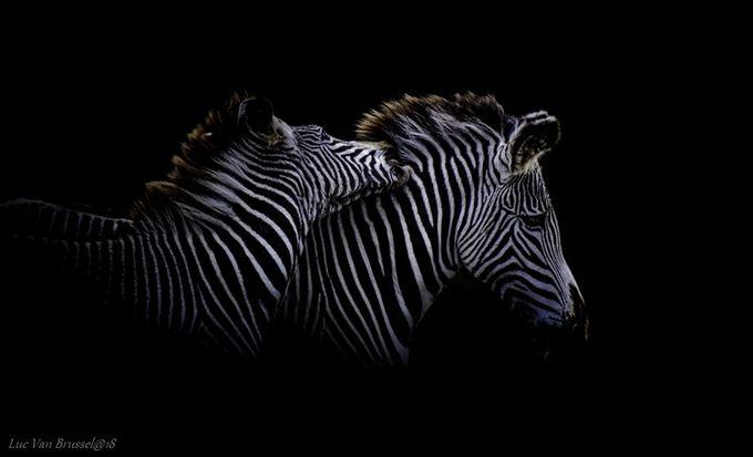 Chevry Zebra