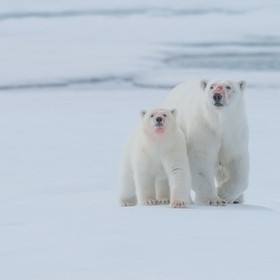Polar bear (Ursus maritimus)  This is one of several amazing moments this female and her cub shared with us, and here they are walking straight t...