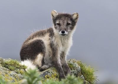Arctic Fox (Blue Morph)