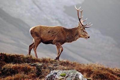 Red Deer Stag Nr Aviemore Scotland UK