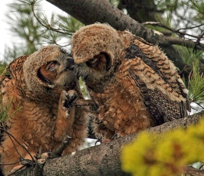Great Horned Owlets showing their love!