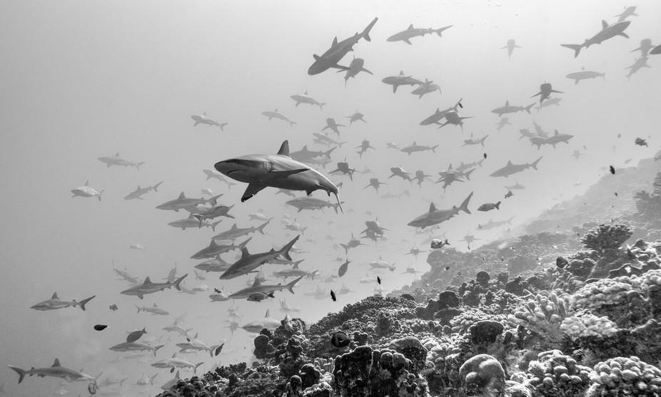 Group of gray reef shark in fakarava french polynesia