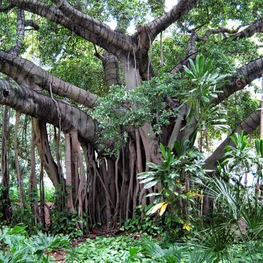 Brisbane Botanic Garden tree