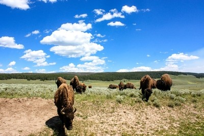 Middle of the Bison Pack