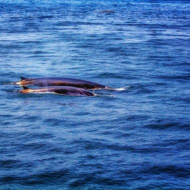 Sunlight dances on the backs of two fin whales.
