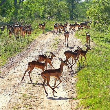 Lively impala!