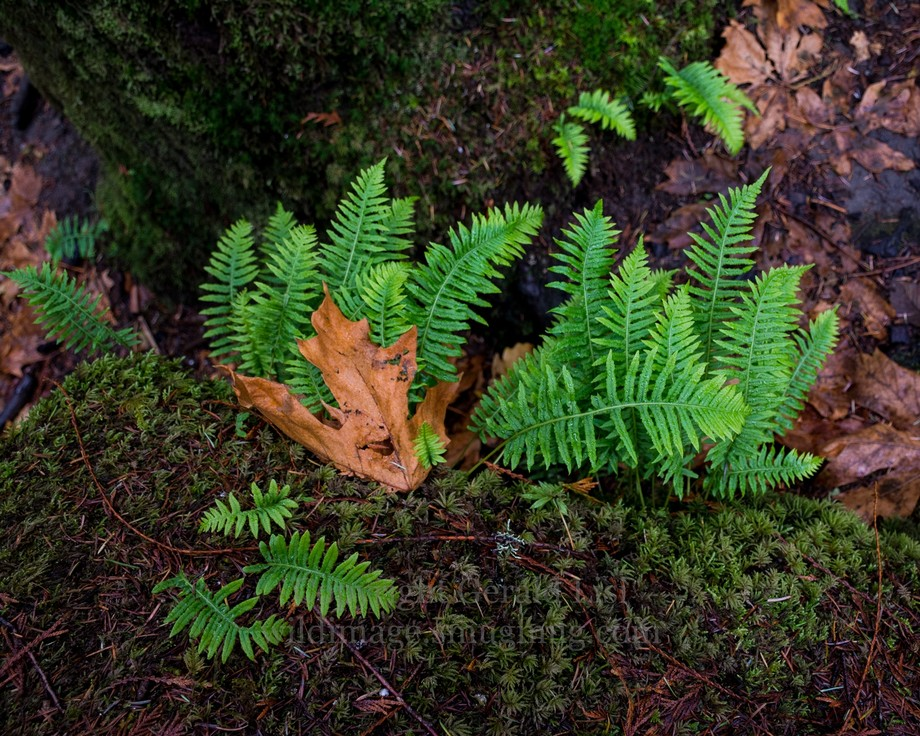 licorice fern on mossy rock with bigleaf maple leaves