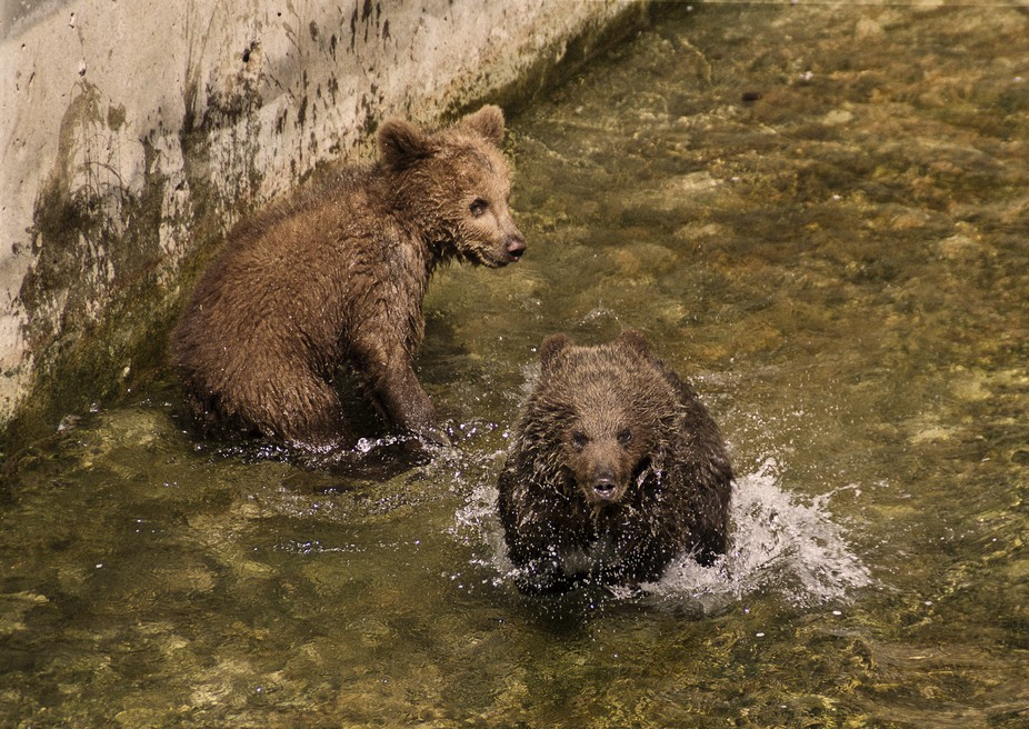 Bear cubs play in the water