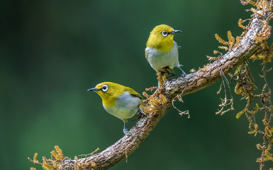Oriental white-eye birds perched on the branch!!
