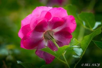 Dark pink rose with back-light