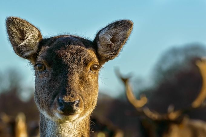 Doe up close by alaighleis - Image Of The Month Photo Contest Vol 29