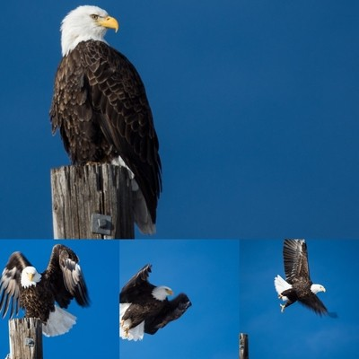 A young Bald Eagle hunts fish along a frontage road in Park City, UT.