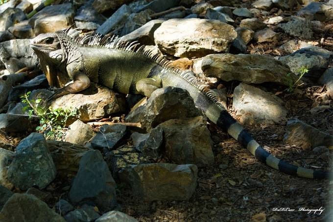There are Native Iguanas in Puerto Rico, but back in the 80's Iguanas from Central America were introduce to the island as pets, after a few months the little green iguanas were growing so big, a lot of people decided to let them loose in the wild.  The iguanas started to reproduce at a large scale. To the point, they have become a menace to the island. Been so good-hearted, they leave them loose, but as they find themselves in a wild like a habitat the iguanas have been able to reproduce to the extent of becoming dangerous to crops of vegetables and fruits.