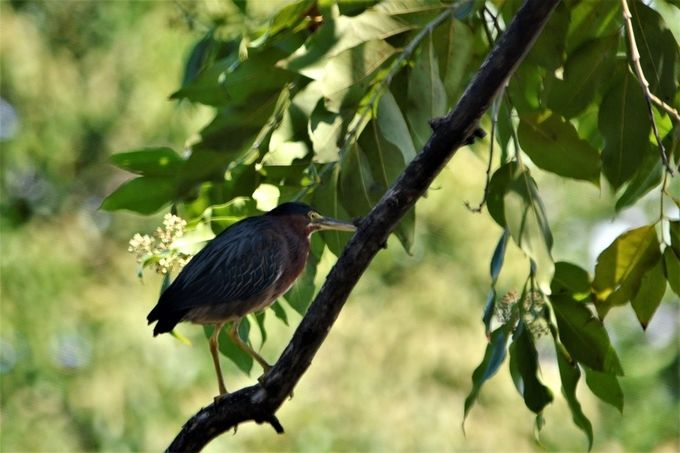Julio Enrique Monagas Park has a variety of birds, and the Little Green Heron delight themselves here where they catch their foods.