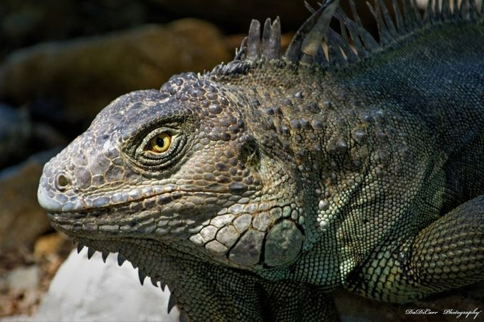 To watch iguanas and try to analyze them and compare them to their ancestor is cool, I really enjoy it.  If not the ridiculous sizes they all had, we would see these creatures as we think of Dinosaurs. their movements and habits, because most are herbalists.