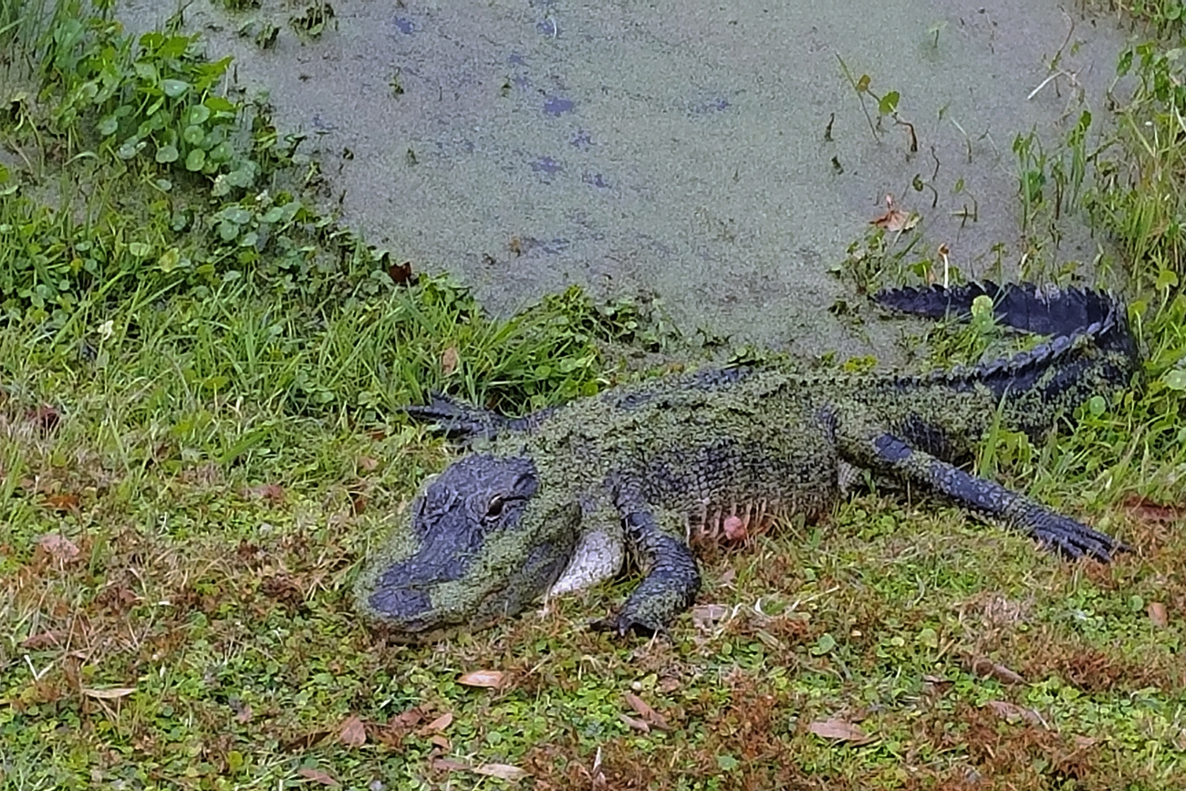 Taken with Samsung Galaxy S7 and enhanced and cropped using Photoshop Elements 14. I came within about 4 feet of this alligator while looking for a golf ball.  He had so much moss and algae on him that he was a bit camouflaged.