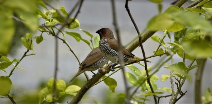 The scaly-breasted munia or spotted munia (Lonchura punctulata), known in the pet trade as nutmeg mannikin or spice finch, is a sparrow-sized estrildid finch native to tropical Asia. A species of the genus Lonchura, it was formally described and named by Carl Linnaeus in 1758. Its name is based on the distinct scale-like feather markings on the breast and belly. The adult is brown above and has a dark conical bill. The species has 11 subspecies across their range and differ slightly in size and colour.  This munia eats mainly grass seeds apart from berries and small insects. They forage in flocks and communicate with soft calls and whistles. The species is highly social and may sometimes roost with other species of munias. This species is found in tropical plains and grasslands. Breeding pairs construct dome-shaped nests using grass or bamboo leaves.  The species is endemic to Asia and occurs from India and Sri Lanka east to Indonesia and the Philippines (where it is called mayang pakíng). It has been introduced into many other parts of the world and feral populations have established in Puerto Rico and Hispaniola as well as parts of Australia and the United States of America. The bird is listed as of Least Concern by the International Union for Conservation of Nature (IUCN).