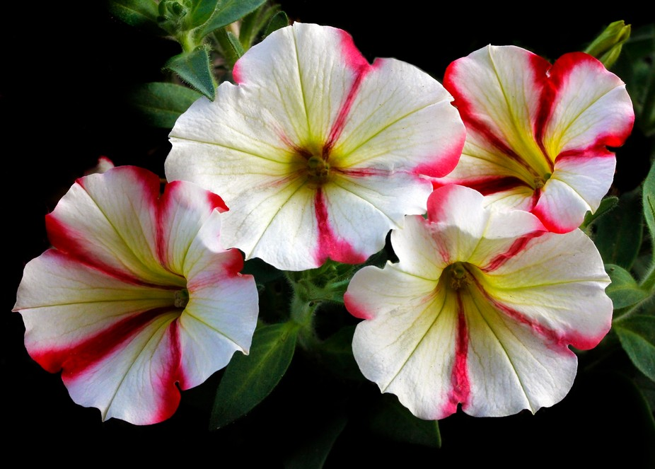 Peppermint Quartet Beautiful Petunias that I planted in my backyard garden during the summer time...