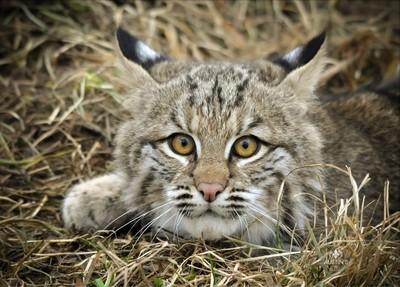 Bobcat in the field.