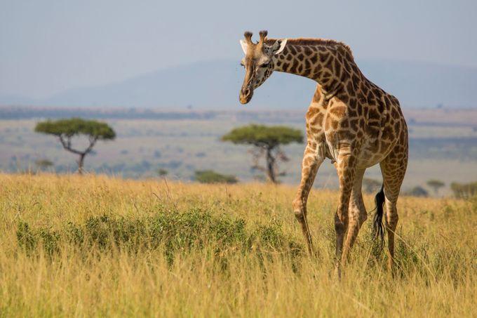 Giraffe by lonniewehunt - Big Mammals Photo Contest