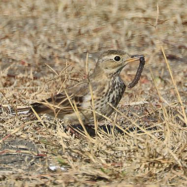 American pipit with worm IMG_8916