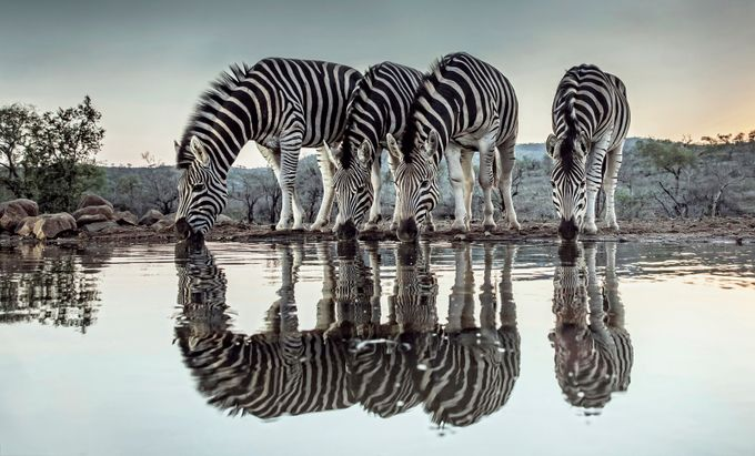 Zebra Dawn by Alannixon - Explore Africa Photo Contest