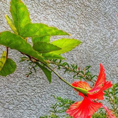 Hibiscus love!