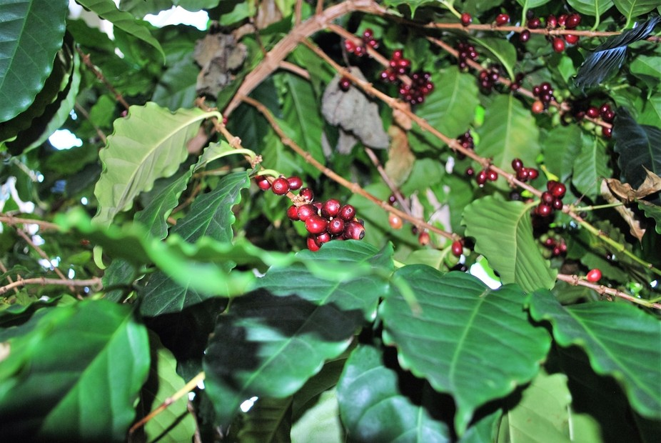 Coffee, ripe for the Harvest