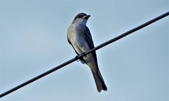 From Wikipedia, the free encyclopedia:  The gray kingbird or grey kingbird, also known as pitirre, petchary, or white-breasted kingbird (Tyrannus dominicensis) is a passerine bird. It breeds from the extreme southeast of the United States, mainly in Florida, through Central America, from Cuba to Puerto Rico as well as eastward towards all across the Lesser West Indies, south to Venezuela, Trinidad, Tobago, the Guiana, and Colombia. Northern populations are migratory, wintering on the Caribbean coast of Central America and northern South America. Several vagrant populations are known to exist in the American Northeast.  This tyrant flycatcher is found in tall trees and shrubs, including the edges of savanna and marshes. It makes a flimsy cup nest in a tree. The female incubates the typical clutch of two cream eggs, which are marked with reddish brown.  The adult gray kingbird is an average-sized kingbird. It measures 23 cm (9.1 in) in length and weighs from 37 to 52 g (1.3 to 1.8 oz).[2] The upperparts are gray, with brownish wings and tail, and the underparts are white with a gray tinge to the chest. The head has a concealed yellow crown stripe, and a dusky mask through the eyes. The dark bill is heavier than that of the related, slightly smaller, tropical kingbird. The sexes are similar, but young birds have rufous edges on the wing coverts, rump and tail.  The call is a loud rolling trill, pipiri pipiri, which is the reason behind many of its local names, like pestigre or pitirre, in the Spanish-speaking Greater Antilles, or petchary in some of the English-speaking zones.  Gray kingbirds wait on an exposed perch high in a tree, occasionally sallying out to feed on insects, their staple diet.  Like other kingbirds, these birds aggressively defend their territory against intruders, including mammals and much larger birds such as caracaras, red-tailed hawks and broad-winged hawks.  It is found in increasing numbers in the state of Florida, and is more often found inl