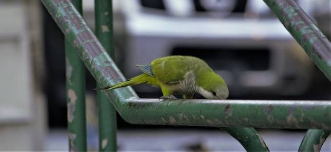 """This Monk Parakeet is on a rail rather than on a tree or even the steps. They have made Puerto /Rico and South Florida their new home. This one was at Old San Juan Pier.   From Wikipedia, the free encyclopedia:  The monk parakeet (Myiopsitta monachus), also known as the Quaker parrot, is a small, bright-green parrot with a greyish breast and greenish-yellow abdomen. In most taxonomies, it is classified as the only member of the genus Myiopsitta. It originates from the temperate to subtropical areas of Argentina and the surrounding countries in South America. Self-sustaining feral populations occur in many places, mainly in North America and Europe.  Description[edit]  Female pet monk parakeet The nominate subspecies of this parakeet is 29 cm (11 in) long on average, with a 48 cm (19 in) wingspan, and weighs 100 g (3.5 oz). Females tend to be 10–20% smaller, but can only be reliably sexed by DNA or feather testing. It has bright-green upperparts. The forehead and breast are pale gray with darker scalloping and the rest of the underparts are very light-green to yellow. The remiges are dark blue, and the tail is long and tapering. The bill is orange. The call is a loud and throaty chape(-yee) or quak quaki quak-wi quarr, and screeches skveet.[2][3]  Domestic breeds in colors other than the natural plumage have been produced. These include birds with white, blue, and yellow in place of green. As such coloration provides less camouflage, feral birds are usually of wild-type coloration.  Systematics and taxonomy[edit] Myiopsitta monachus is usually the only widely accepted member of the genus Myiopsitta. However, the cliff parakeet is sometimes considered a distinct species.[2] The cliff parakeet's altitudinal range apparently does not overlap, and that it is thus entirely, but just barely, allopatric.[3] The American Ornithological Society has deferred recognizing the cliff parakeet as distinct """"because of insufficient published data"""".[4]  Three subspecies are recognized"""