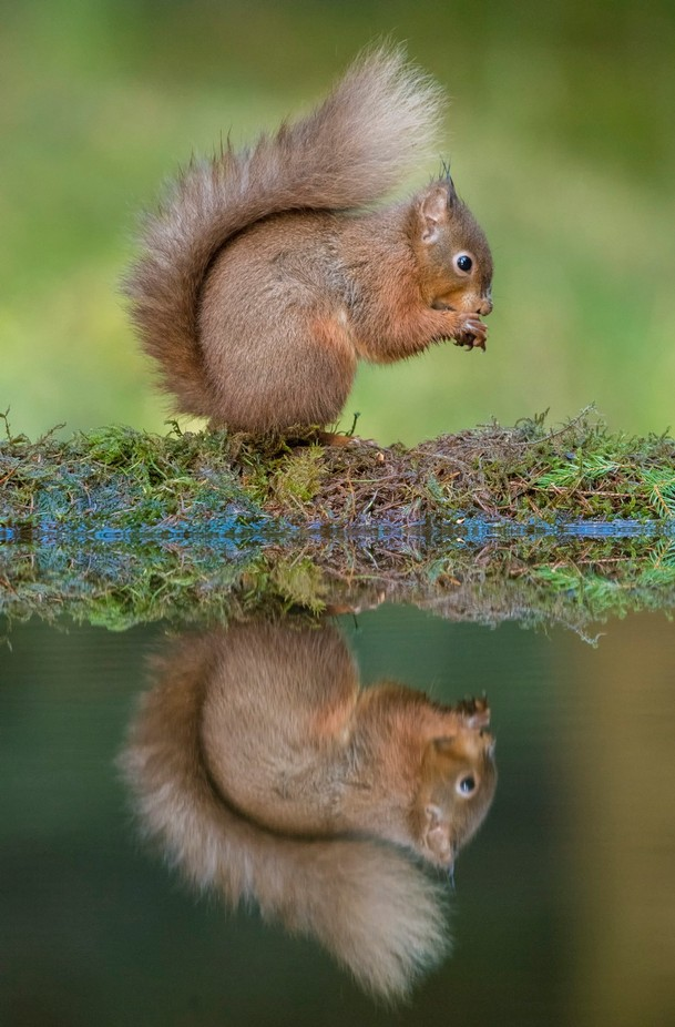 Squirrel_Eating by gilesrrocholl - Small Wildlife Photo Contest