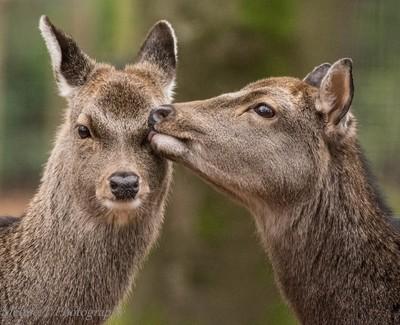 Kissing Sika