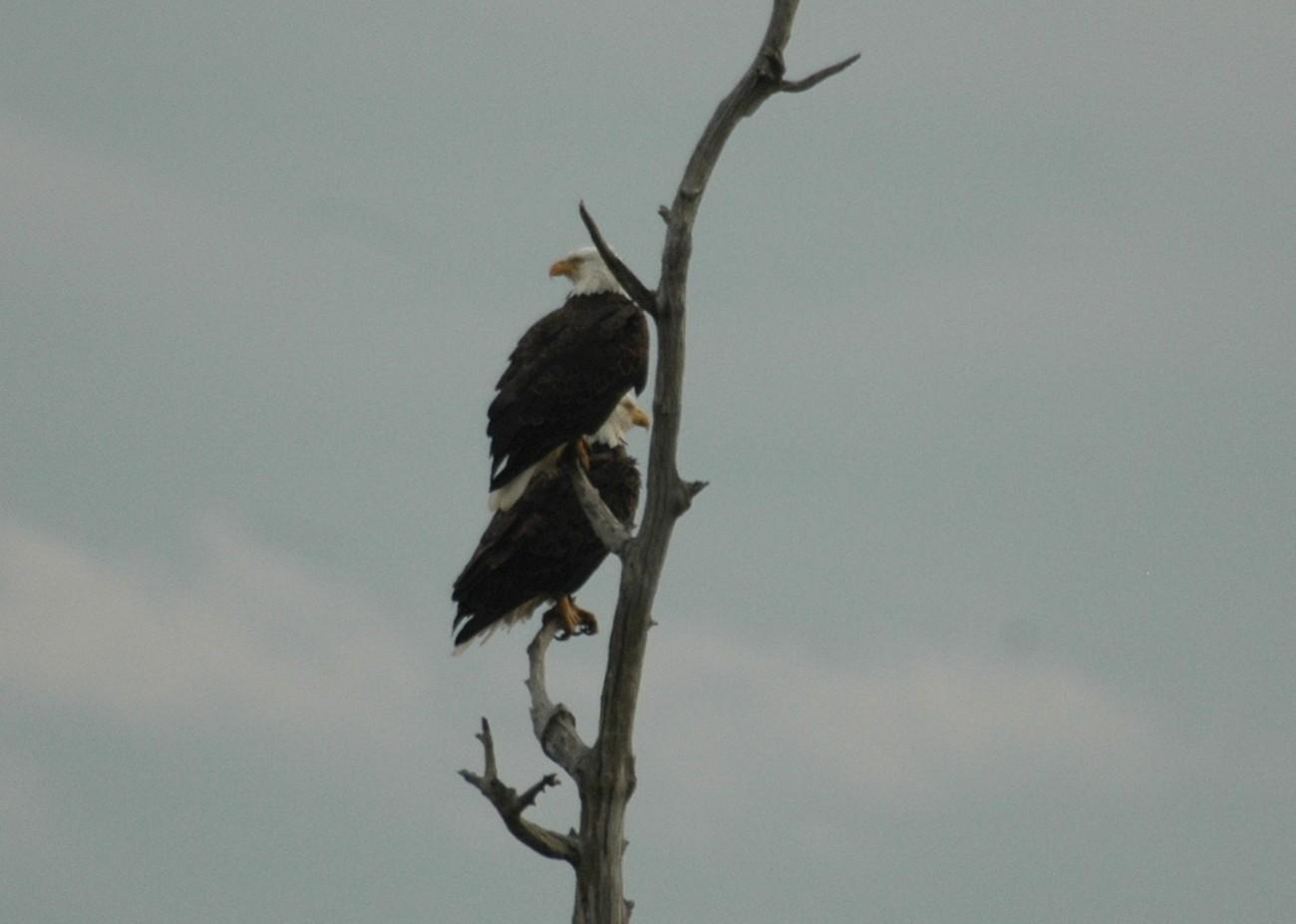 Blackwater National Wildlife Refuge Cambridge, Maryland Blackwater River, Blackwater Swamp,