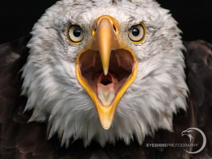 Bald Eagle Call by EaglePortraits - Social Exposure Photo Contest Vol 13