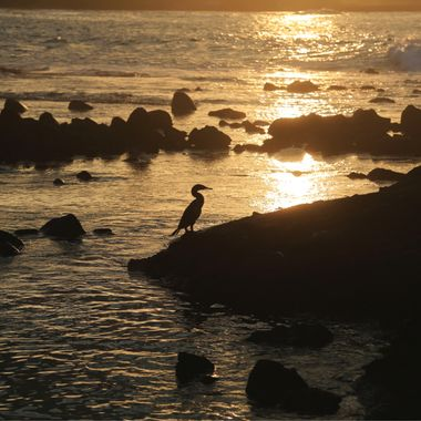 Flightless cormorant of the Galapagos!
