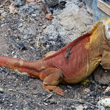 Land iguana of the Galapagos!