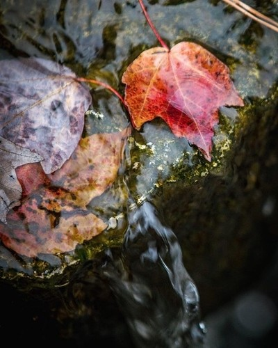 Leaves in Winter Stream 2