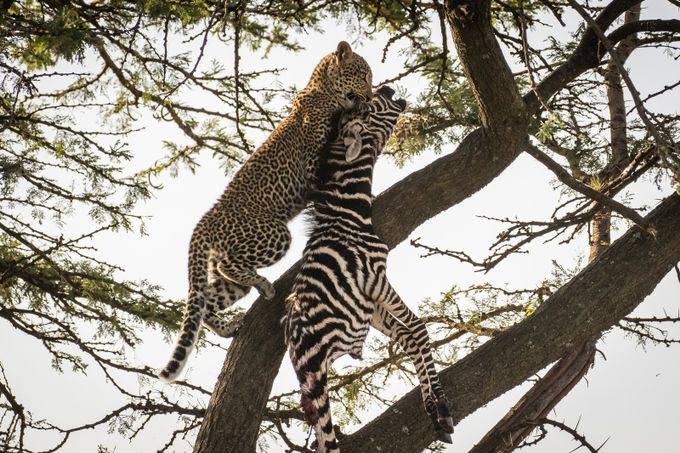 Leopard Cub Climb by KellieNetherwood - Food Chain Struggles Photo Contest